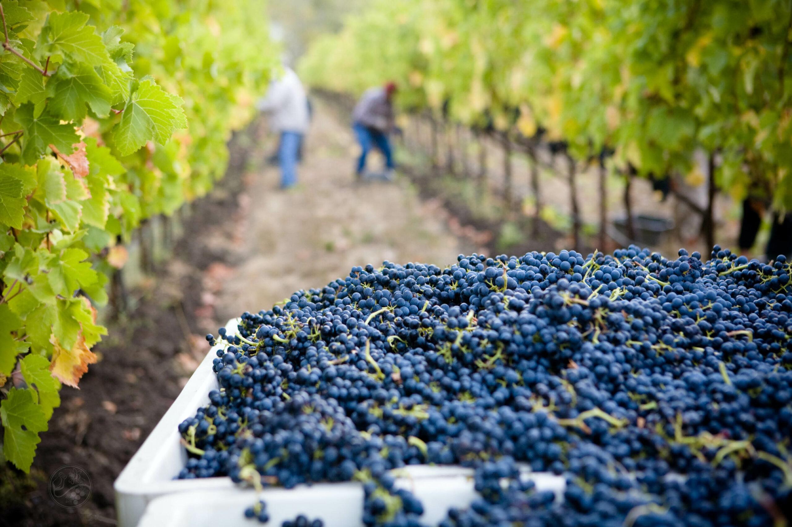 Type de viticultures